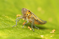 """Leafhopper #1 • <a style=""""font-size:0.8em;"""" href=""""http://www.flickr.com/photos/57024565@N00/836916894/"""" target=""""_blank"""">View on Flickr</a>"""