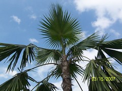 Anahaw (cfpaderan) Tags: street plants high bonifacio anahaw