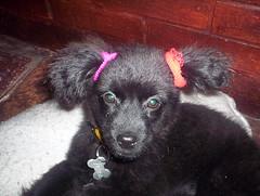 Pelusa peinadita (carolains) Tags: perro animales negra mascota pelusa colitas chachorro