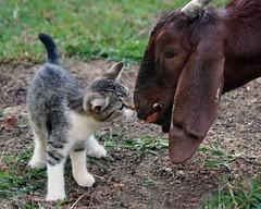How's that taste? (Boered) Tags: cat leaf kitten eating katie lisa goat kittyschoice lmaoanimalphotoaward