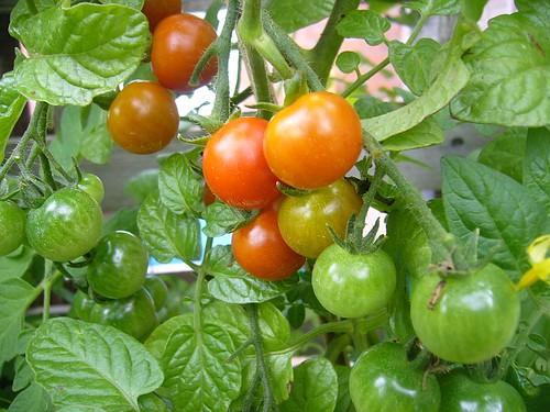cherry tomatoes01