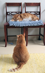 Toby wants more! (Kevin Steele) Tags: toby orange cats cat chairs tabby kitty kitties fiddy gingercats orangecats