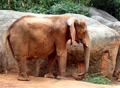 Red Elephant (Pandora_60) Tags: elephants zooatlanta pandas lunlun yangyang tamarins meilan