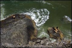 Sea Lions under Heceta Head Overlook (Nativeagle) Tags: sea lighthouse beach water beautiful rock oregon nikon d70 native roadtrip lions oregoncoast navajo nativeagle overlook heceta 70200vrf28