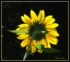 Sunlit Backside Sunflower (micamrazai) Tags: flower closeup glow nj brilliant southjersey franklintownship digitalcameraclub flowerscolors naturewatcher micamrazai flowersarefabulous wonderfulworldofflowers awesomeblossoms