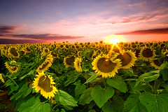 Goodnight Sunflower Field (dfworks) Tags: sunset sky field clouds canon bravo sunflowers berkscounty 30d excellence cokin blueribbonwinner sigma1020 supershot superaplus aplusphoto