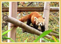 Red Panda ! (Jean-christophe 94) Tags: paris animal zoo panda redpanda jardindesplantes jc94 jeanchristophe94