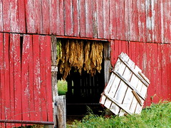 Curing Tobacco (mightyquinninwky) Tags: door trees red clouds barn rural fence geotagged tin wire rainyday farm kentucky farmland posts tobacco farn smalltown gravel tobaccobarn soybeans drying westernkentucky tobaccofarm curing ohiorivervalley tinroofrusted smithmillskentucky hendersoncountykentucky geo:lat=37798145 geo:lon=87749627