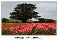 Table Cape Tulips - TASMANIA (Sim.B) Tags: flowers trees tree colours tulips australia wv postcards tasmania pointandshoot tassie wanderings northwestcoast srb blueribbonwinner tablecape sp500uz ultimateshot superbmasterpiece tassiesim auselite appleisle exploreinterestingness267 growingtulips