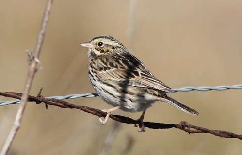 Savannah Sparrow - 1/20/2009