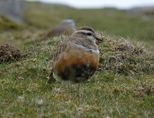 12425 - Dotterel at Cefn Cadlan