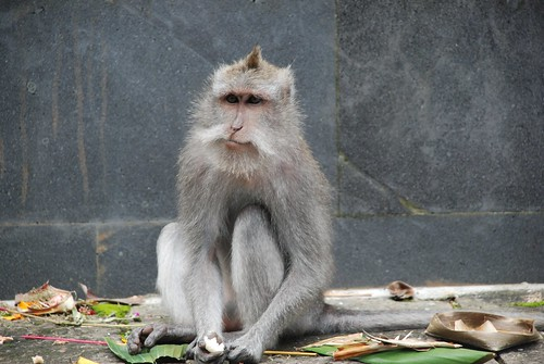 Monkey eating offerings, Ubud, Bali
