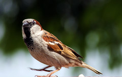 The Lord of the Dance (Fifi 1968) Tags: male wednesday bokeh sparrow housesparrow passerdomesticus hbw thewonderfulworldofbirds