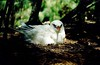 Red-tailed tropicbird.  Like all o…
