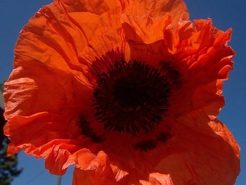 poppy study 1