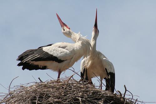 Аисты (Ciconiidae) - семейство птиц отряда голенастых.  Белый аист(Ciconia ciconia) - самый известный из...