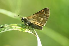 Large Skipper (SpUtNik 23 -RUR und MKZ) Tags: macro butterfly belgium belgique papillon insecte naturesfinest hainaut terril largeskipper ochlodesvenatus souvret ishflickr sixperrier