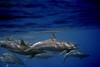 Spinners, spinners everywhere (graspnext) Tags: redsea dolphins spinner specanimal photofaceoffwinner pfogold