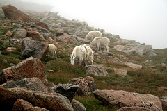 Mt. Evans, Colorado (Olenka303) Tags: mountain mountains evans colorado stones goat denver goats views herd animalplanet mtevans coloradowildlife