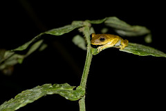 tree frog (matt duke) Tags: macro nature ecuador amazon rainforest wildlife frog treefrog mattdukephoto