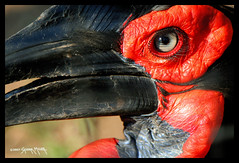 Beautiful lashes/Ground Hornbill   BOTSWANA South Africa (electra-cute) Tags: africa bird eye birds botswana groundhornbill bucorvidae