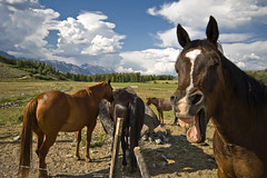 hey! (richietown) Tags: horse topf25 animal animals topv111 clouds canon topv555 topv333 funny raw searchthebest teeth jackson topv777 wyoming grandtetons jacksonhole 30d grandtetonnationalpark sigma1020mm naturesfinest abigfave richietown twip