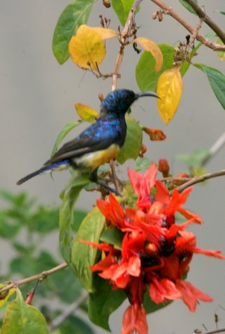 purple-rumped humming bird on flower