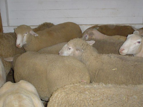 Sheep: some sheared, some not