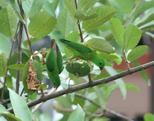 Blue Crowned Hanging Parrot 3