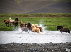 Horses (Erla Berglind) Tags: fab horses water iceland cross running smorgasbord wonderworld worldbest firsttheearth diamondclassphotographer flickrdiamond jalalspagesanimalkingdomalbum ellabegga piratetreasure5