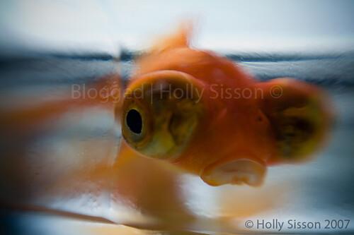LensbabyGoldFish