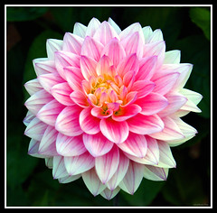Pink Dahlia (Carplips) Tags: pink dahlia flower closeup washington petals spokane manito flowerotica sonyalpha
