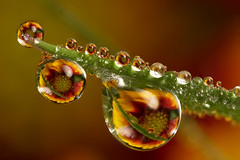 Dewdrop flower refraction #3 (Lord V) Tags: fab flower macro water quality dewdrop refraction anawesomeshot superbmasterpiece ishflickr
