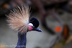 West African Crowned Crane (JohnBrody.com) Tags: lake bird birds animal animals canon photography eos zoo pond gorilla bokeh lakes ape 5d giraffe creature mammals apes animalplanet zoos primates markii copyrighted canonef70200mmf28lisusm platinumphoto 5d2 allimagescopyrighted 5dmkii 5dmk2 canon5dmarkii johnbrodyphotography johnbrody johnbrodycom