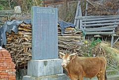 Cow Awaits Sacrifice For Annual Fire Prevention Feast -- and Miao Customary Law (treasuresthouhast) Tags: rural fire book cow village traditional law tradition custom miao  anthropology hmong mong sociology