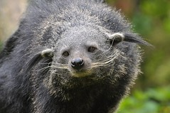 Binturong im Zooparc Overloon (Ulli J.) Tags: zoo binturong asianbearcat beermarter marderbr bintoerong zooparcoverloon