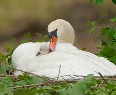 Cygnet (Illini Images,Steve Patterson) Tags: cygnet swans