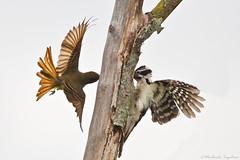 Scrap (~ Michaela Sagatova ~) Tags: bird nature inflight fight woodpecker flight dundas nesting bif highiso hairywoodpecker flycatcher villosus dvca michaelasagatova myiarchuscrinituspicoides