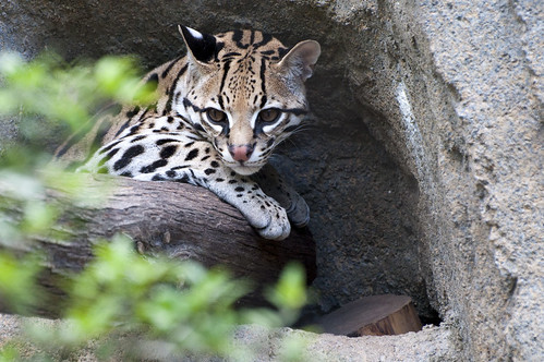 Ocelot Houston Zoo