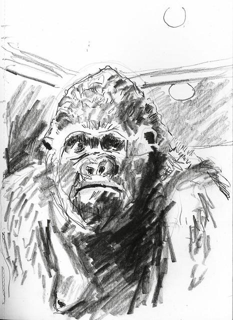 Western Lowland Gorilla (Alfred)