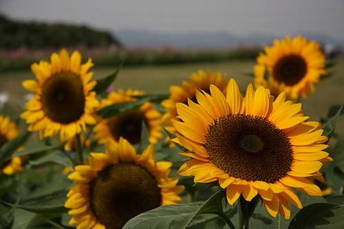 太陽にむかって~ Sunflower/Helianthus annuus L.