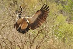 Vultures - Kruger, South Africa (Ami 211) Tags: southafrica vulture kruger krugergreater