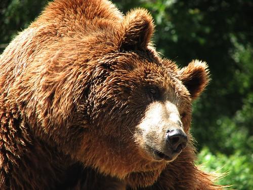 papa oso close up