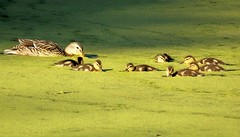 Ducklings (J-Fish) Tags: baby cute nature duck pond mother ducks ducklings anasplatyrhynchos duckweed mallardduck z612 kodakz612 5bangs superhearts