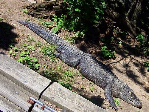 American Alligator 06/09