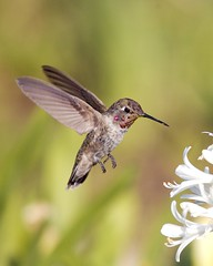 Beauty in Motion (Don Baird) Tags: bravo hummingbird naturesfinest flickrsbest animalkingdomelite impressedbeauty diamondclassphotographer