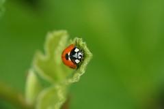 Ladybug says hello :) (koe2moe) Tags: macro ladybug 2007 ilovegreen