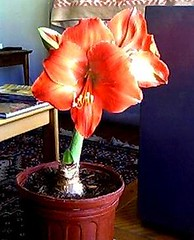 amaryllis4005 (Kurt (orionmystery.blogspot.com)) Tags: garden losangeles wildflowers fullbloom