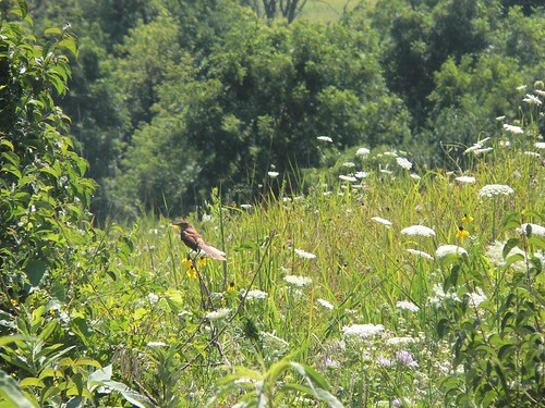 Brown Thrasher at Neal Smith National Wildlife Refuge