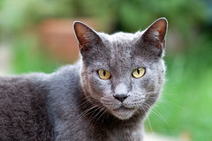 Romeo (sausyn) Tags: yellow cat grey eyes bokeh gatto